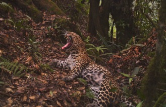 Javan leopard in W Java killed after it invaded a house (CIFOR)