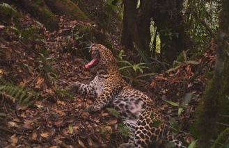 Javan leopard in W Java killed after it invaded a house (CIFOR)