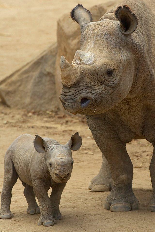 saving animals   Fight for Rhinos Rhinoceros Baby