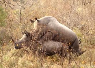 rhinos mating 2