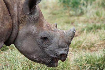baby rhino died