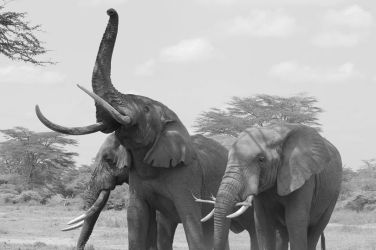 black and white amboseli ellies