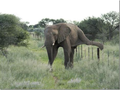 elephant over fence 2 by Indri Ultimate Wildlife Tours