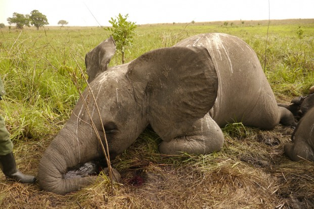 poaching elephants for ivory Poaching levels are increasing in all countries where african elephants occur, and may be leading to dramatic declines in some populations, but particularly in central african countries, where poaching levels are highest.