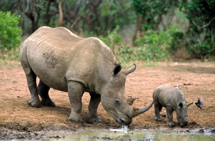 rhino and baby at watering hole