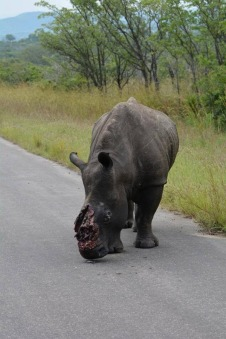 poached rhino in kruger