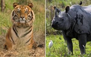 tiger rhino