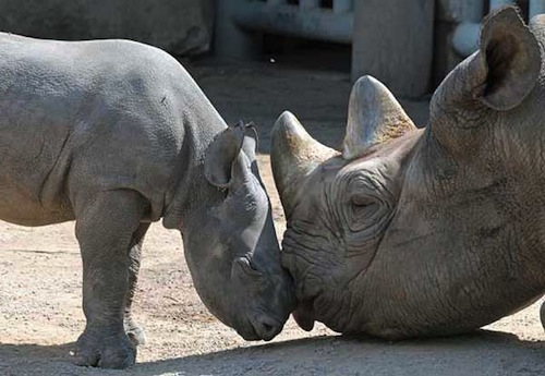 httpsfightforrhinosfileswordpresscom201405black-rhino-mom-and-babyjpg