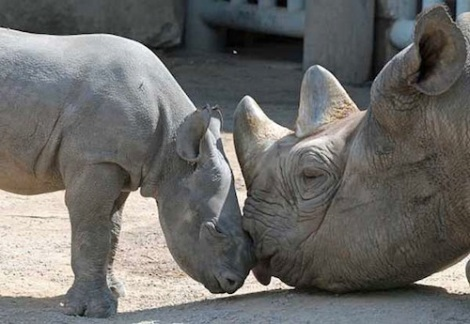 black rhino mom and baby