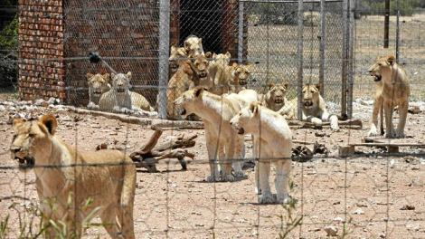 canned hunting overcrowded