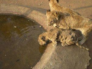 Captive lion cub 2