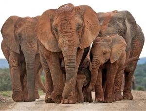 elephant group in Addo Elephant National Park