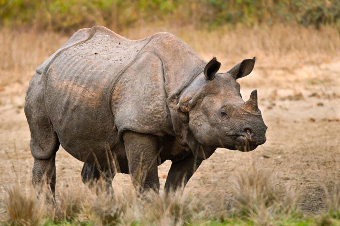 javan | Fight for Rhinos