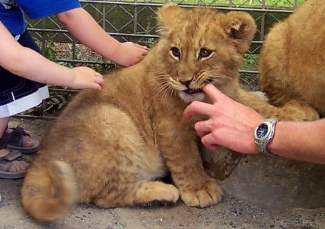 petting lion cub 2