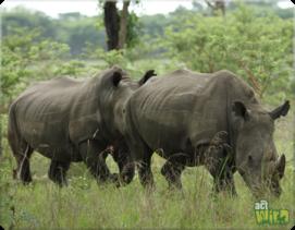 rhino courtship