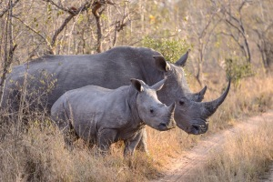 A mother and child rhino pause briefly before crossing the track.