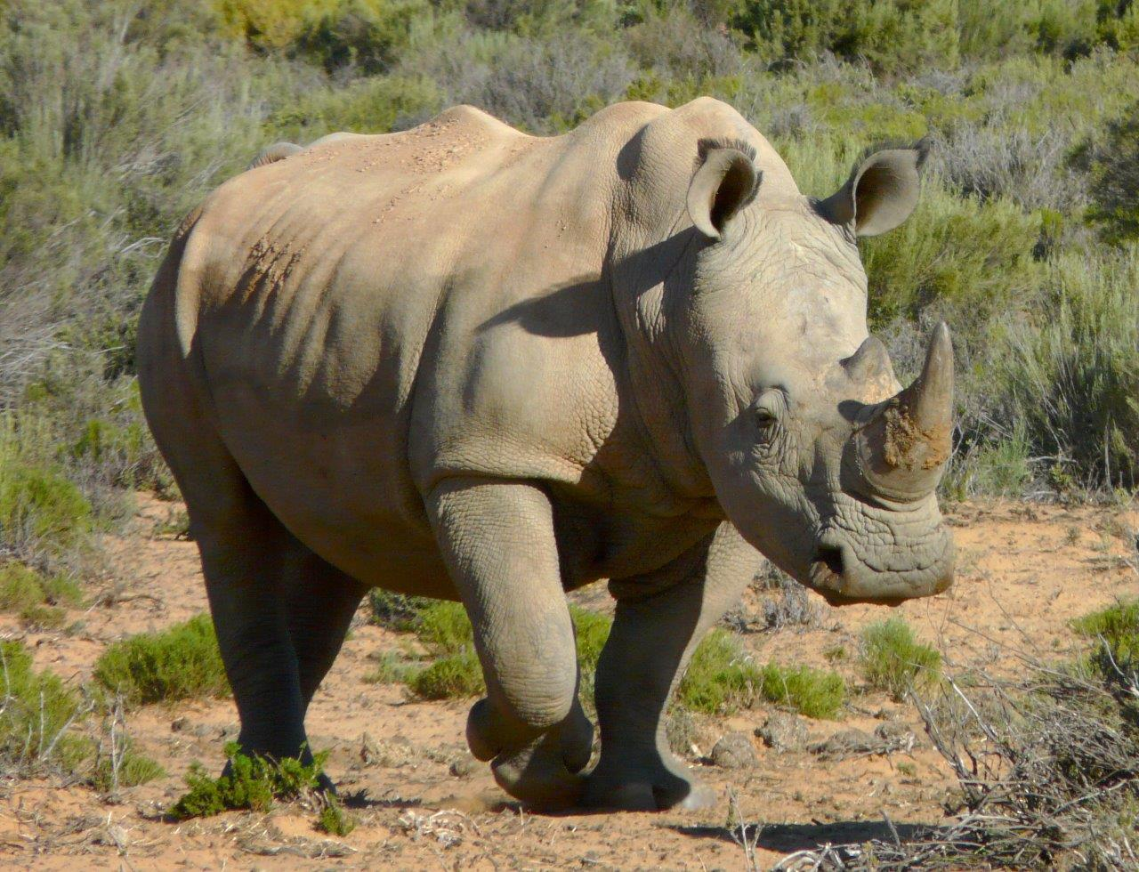 N White Rhino black rhinos | Fight f...