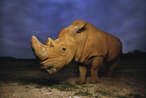 bib head dark rhino