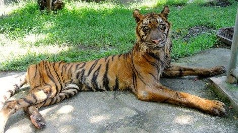 Melani, a sumatran tiger fed meat tainted with formaldehyde at the Surabaya Zoo, has since been rescued.