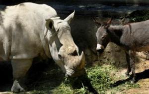 rhino donkey 1
