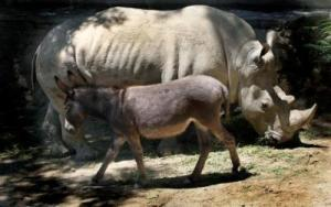 rhino donkey 2