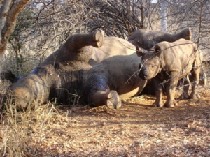 poached mom rhino with baby near
