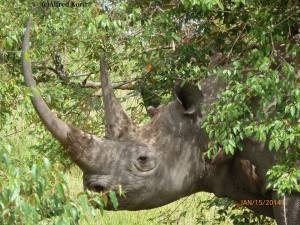 rhino by alfred