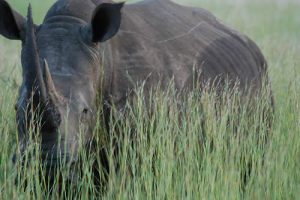 rhino in grass