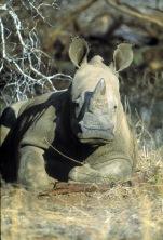 okavango rhino