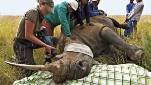 rhino dehorn by brent stirton