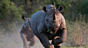 runnin rhinos