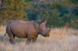 sabi sabi rhino
