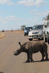 Baby rhino in lebambo mountains se corner of kruger near moz