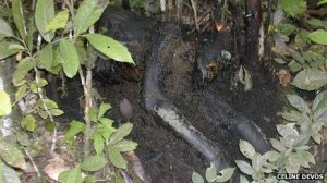 chimps infected with ebola