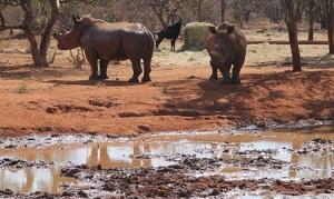 rhino on dawie game farm photo taurai maduna ewn