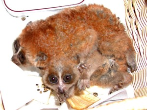 slow lorises rescued in la airport-smuggled in underwear
