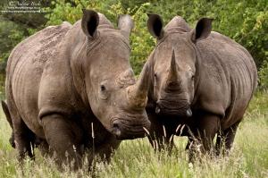 white rhinos andrew beck