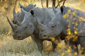 white rhinos stu porter