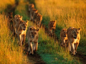 Lion pride in the Masai Mara. photo: unknown