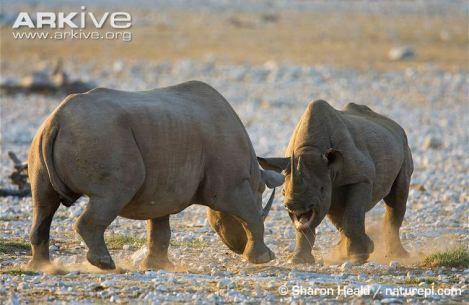black rhino fight