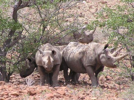 Black rhino crash in Namibia (David Shephard Wildlife Foundation)