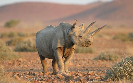 desert dwelling rhino by alamy