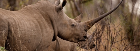 Rhino in Kruger via Giltedge Africa