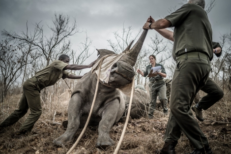 rhino relocation cornel can heerden