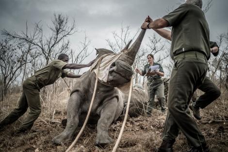 rhino relocation cornel can heerden