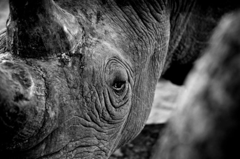 bl and wh rhino wars closeup Frank af Petersens