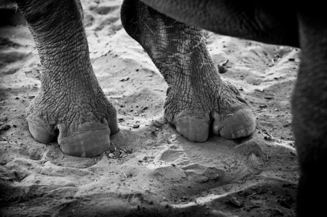 bl and wh rhino wars feet Frank af Petersens