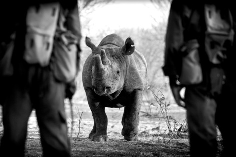 bl and wh rhino wars zim Frank af Petersens