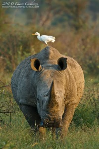 White Rhino, Photographed in the Kruger National Park South Africa
