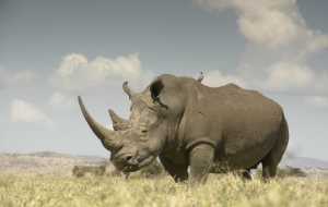 white rhinos lewa by simon belcher